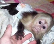 adopt our lovely and intelligent capuchin monkey for a good home